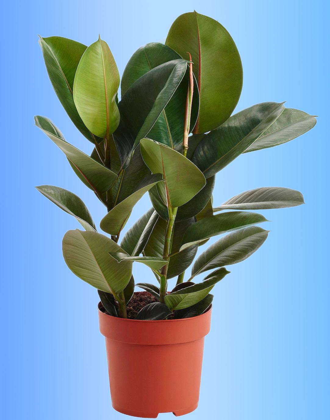 Potare Il Ficus Elastica schede piante-blog